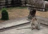 Petit locataire du temple Angkor Wat