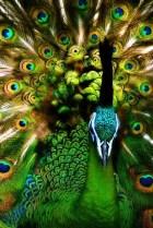 New Peacock