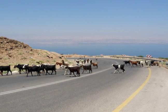 P1110248 goats crossing