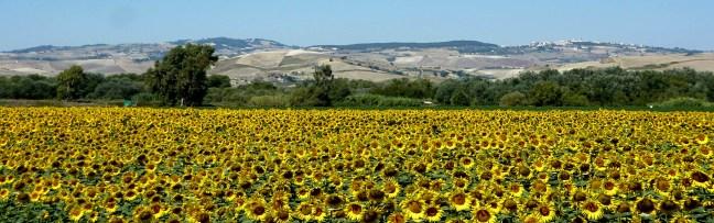 Sunflowers montecilfone