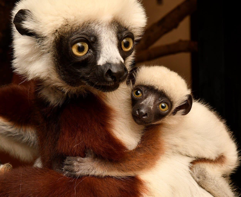 Coquerels Sifaka  Duke Lemur Center