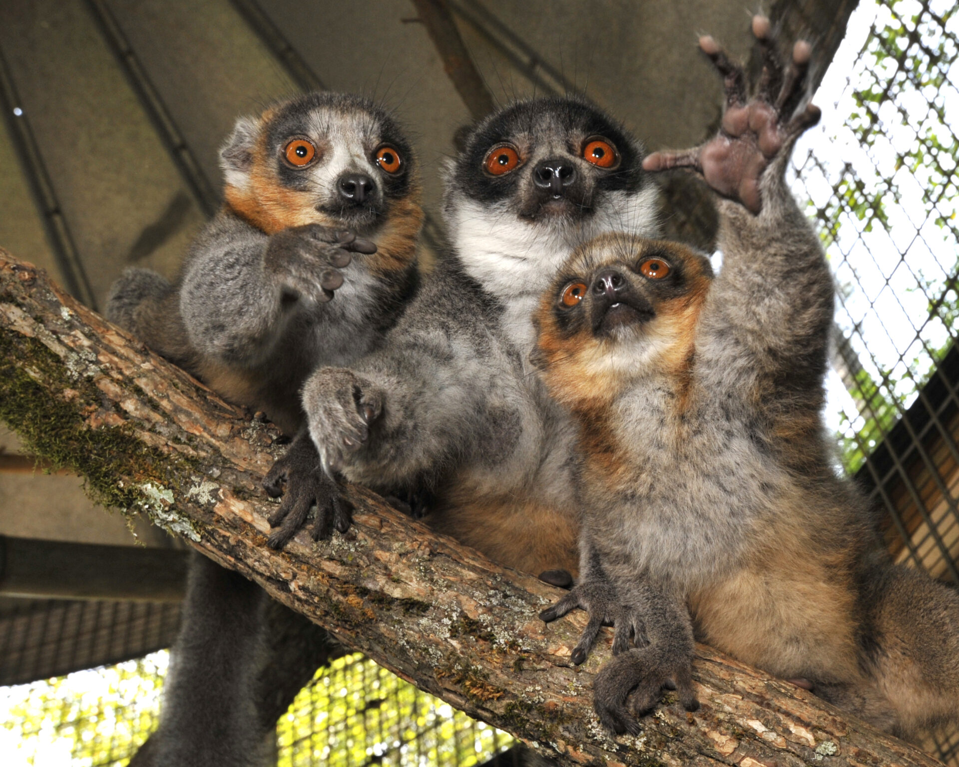 Mongoose Lemur  Duke Lemur Center
