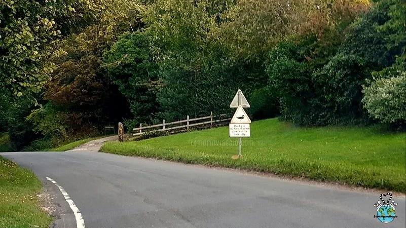 Guidando in Inghilterra bisogna stare attenti alle paperelle