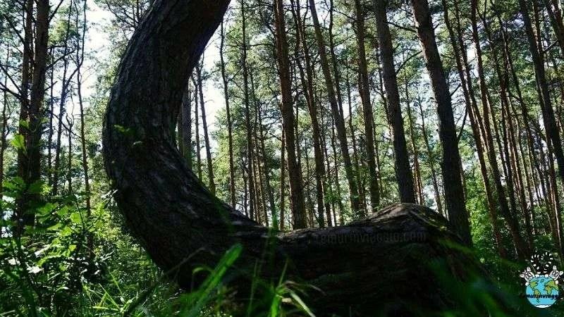La misteriosa foresta storta di Gryfino