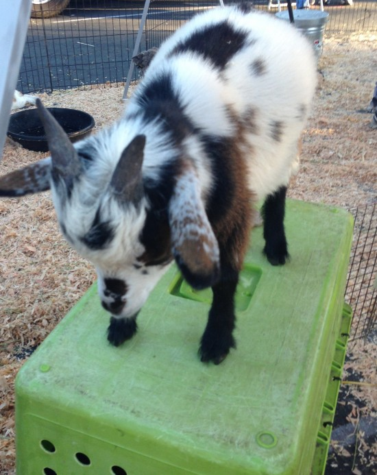 This baby goat was head-butting Oliver, the precious pig.