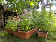 7-klause-tomaten-aufzucht-gruenerbeton