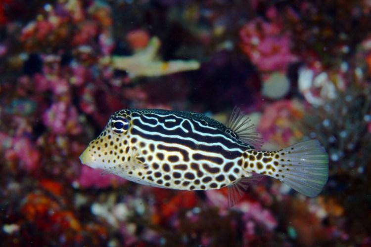 Box Fish_Malapascua