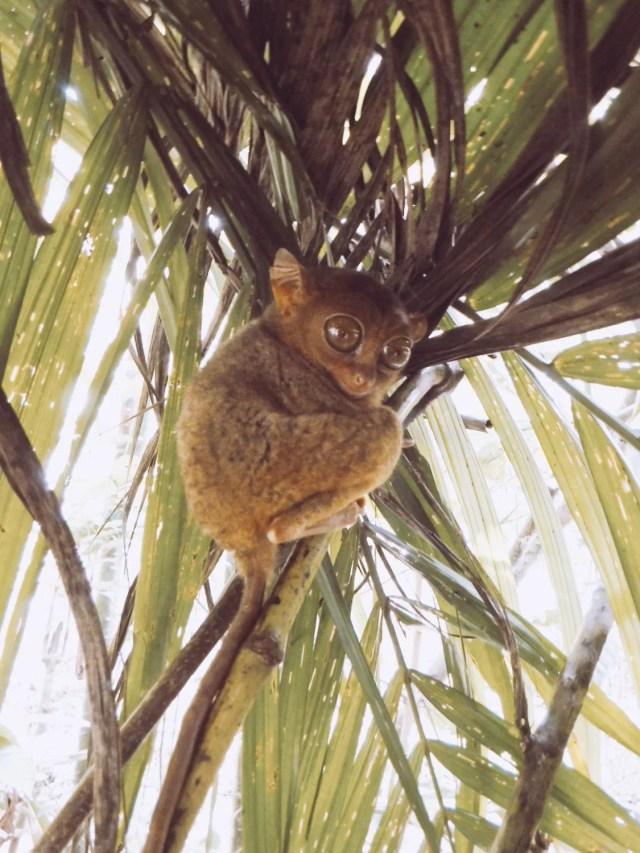 tarsier official sanctuary bohol