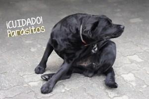 parasitos-perros-verano