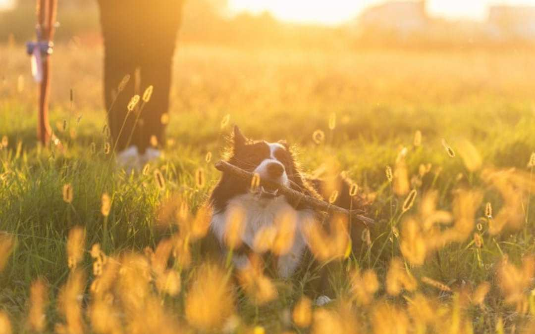 entrenar perro mayor