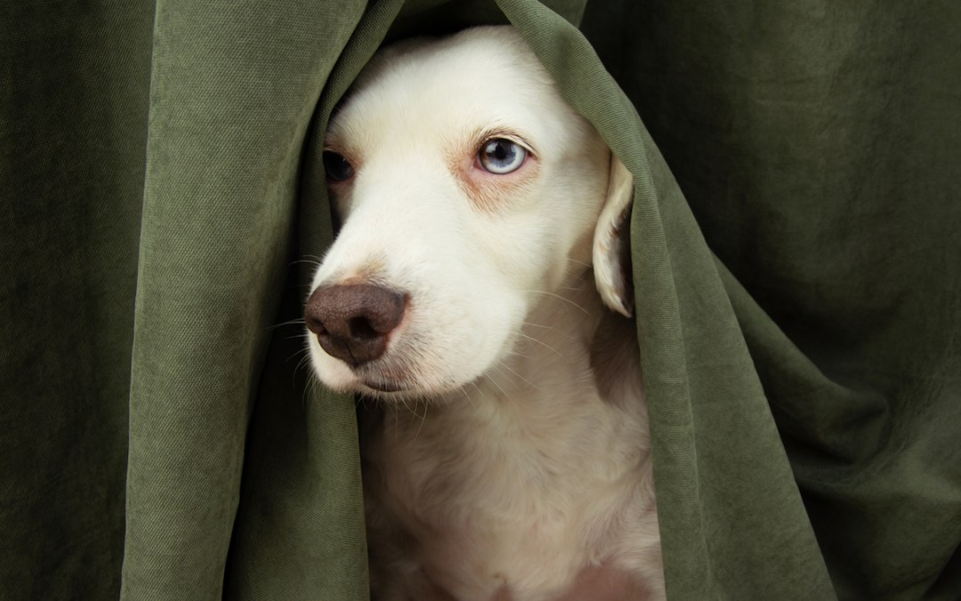 How can we help dogs who are afraid of lightning, bangers and fireworks?