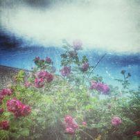 Roser og himlen