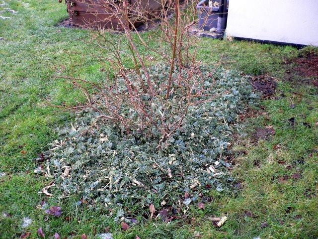 oppkvernet juletre under blåbærbuskene