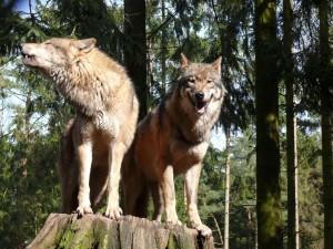 16 Jan 14 Wolf_610
