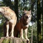 Hedgehogs, wolves and climate change