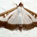 Beware: Voracious pest