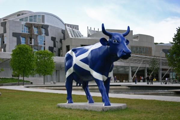Scots cow