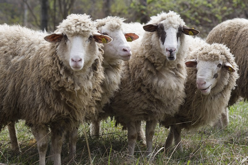 Swiss consumers are just sheep to be sheared