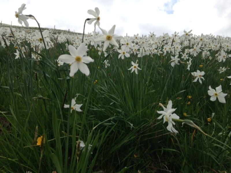 Narcissus Les Pleiades
