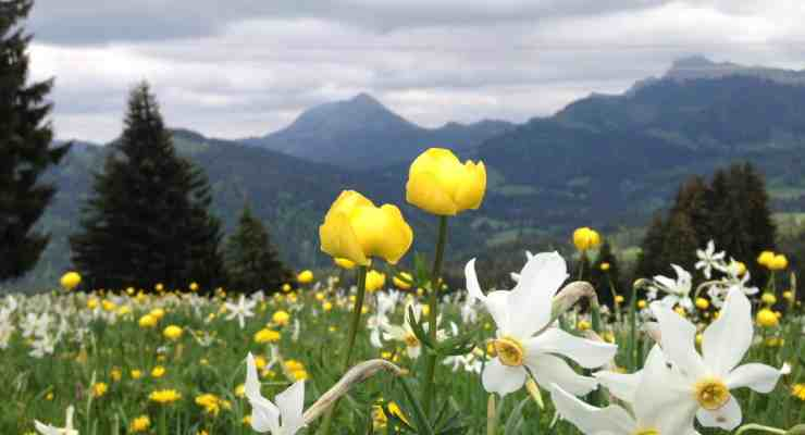 Blooming Swiss narcissus season approaches