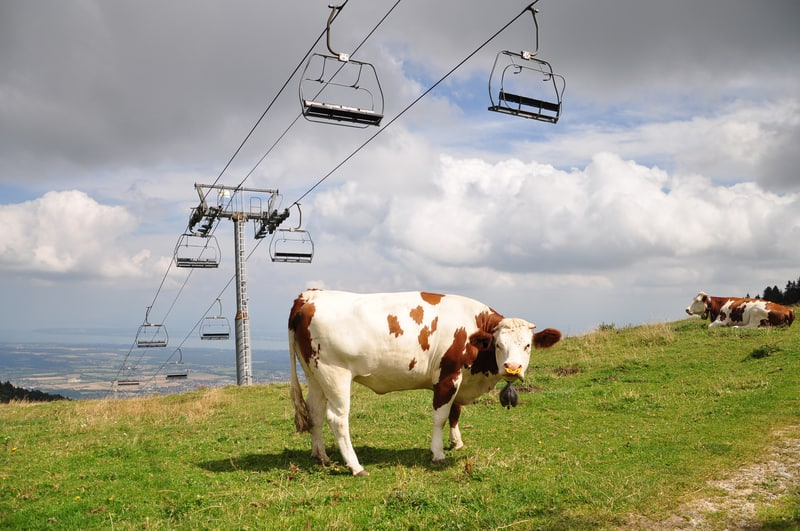 Swiss cow Jura