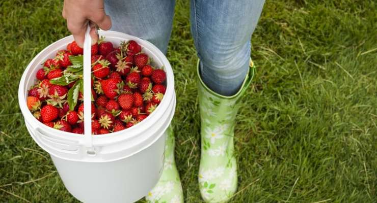 It's strawberry season in Switzerland – time to get picking!