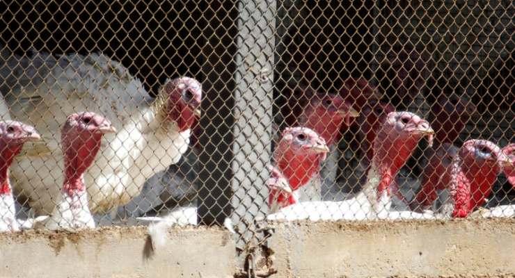 Bird flu risk rises in Switzerland