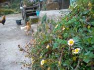 Pekarangannya bunga daisy euy