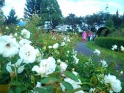 mawar putih. mayanlah kepadatannya