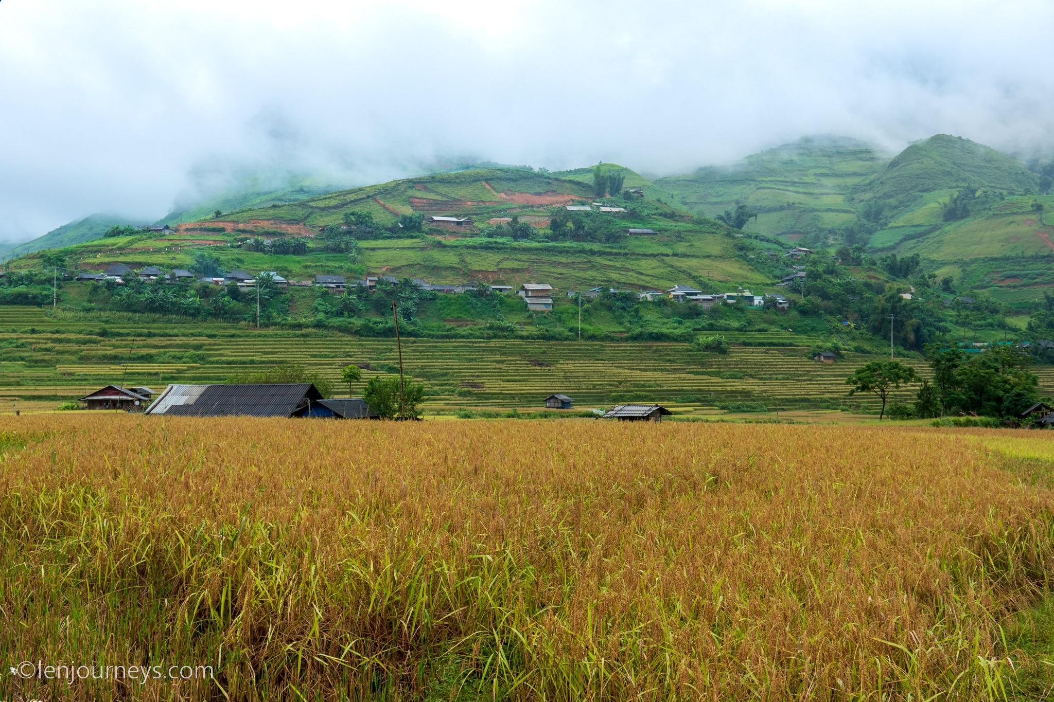 Ripening rice paddies