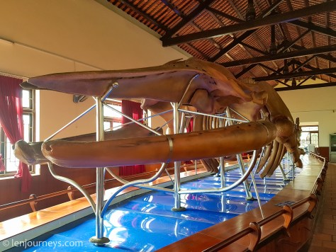 Largest whale skeleton at Thuy Tu Temple