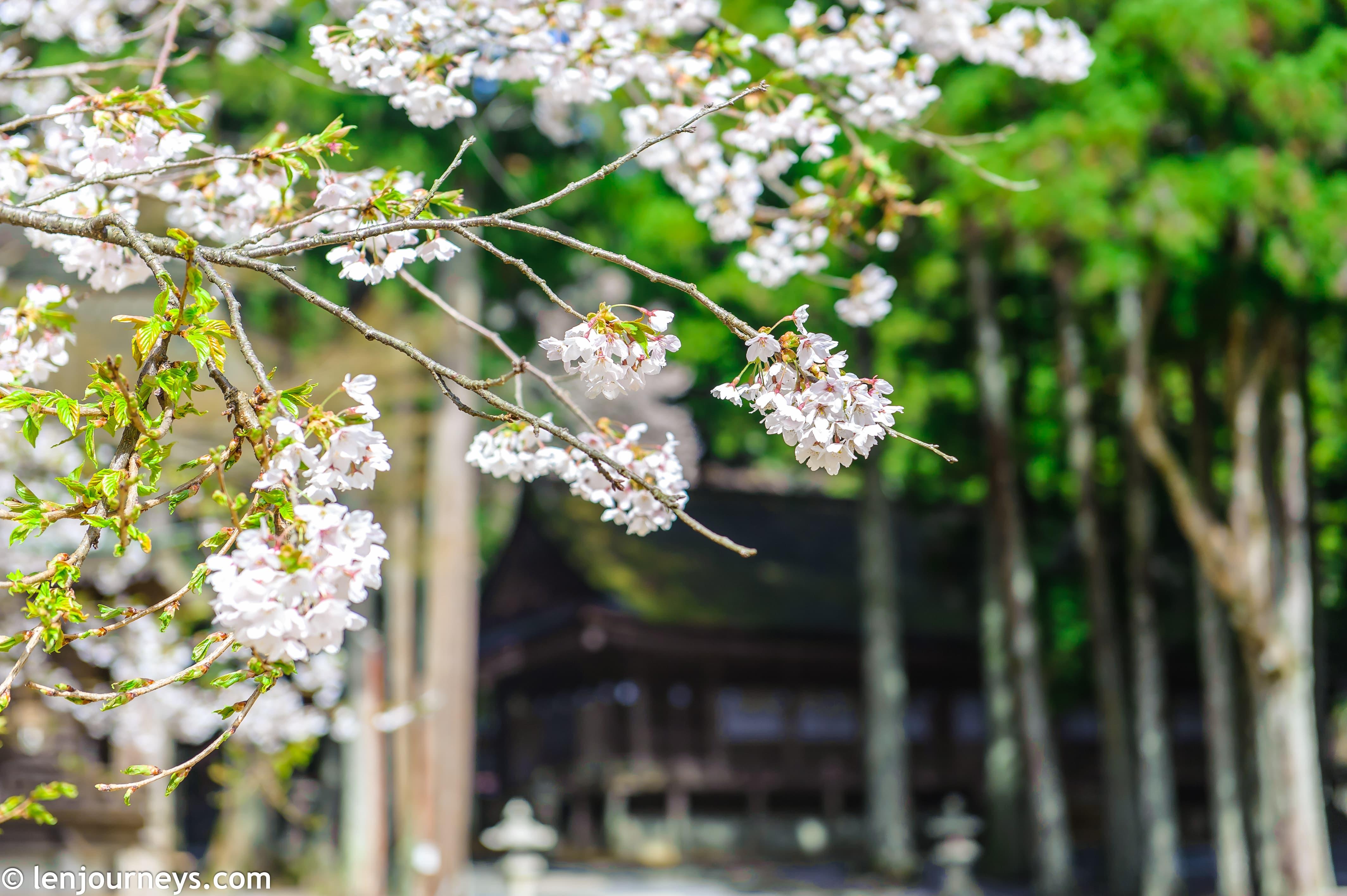 White sakura in koyasan