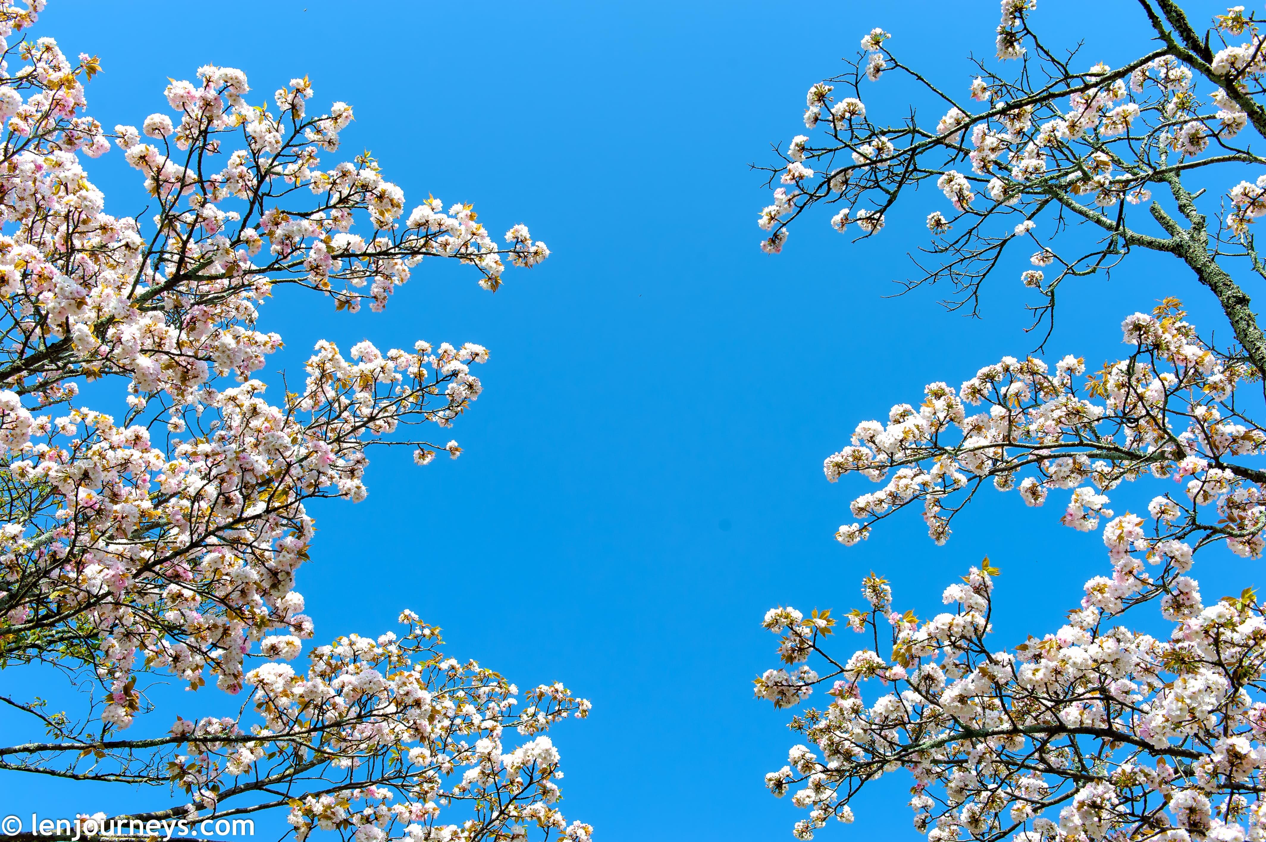 White sakura in Nara Park
