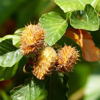 Buk lesní (7 semen)