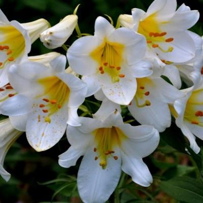 Královská lilie velkokvětá (1 cibulka)