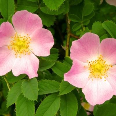 Růže šípková (5 semen)