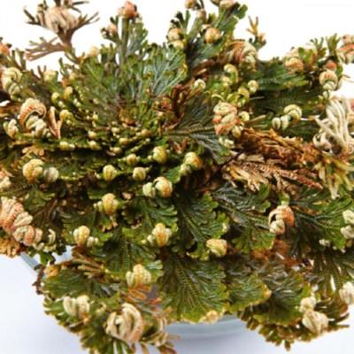 RŮŽE Z JERICHA - Selaginella lepidophylla
