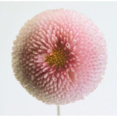 Sedmikráska chudobka TASSO - růžová - 50 semínek