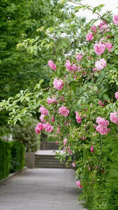 ružový krík, Kodaň, Dánsko