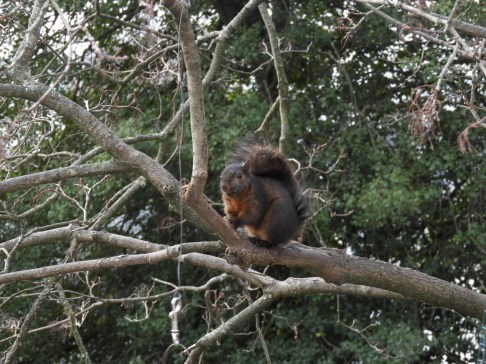 Black and rust colored squirrel