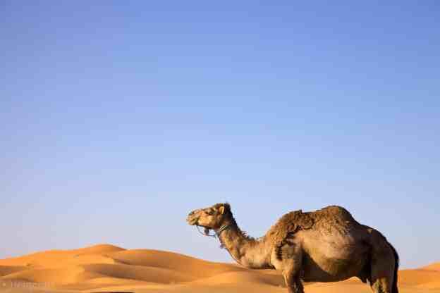 lone camel / erg chebbi, morocco