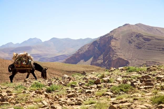 amazight burro / above todra gorge, morocco