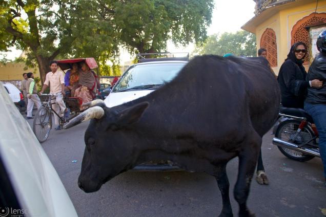 obstinate bull / jaipur, india