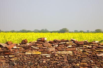 mustard and a wall / umednagar, india