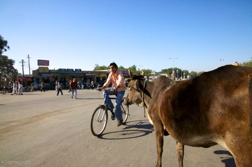 the bicyclist & the cow / jaisalmer, india