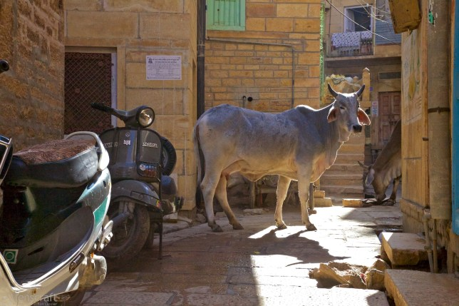 scooters & cattle / jaisalmer, india