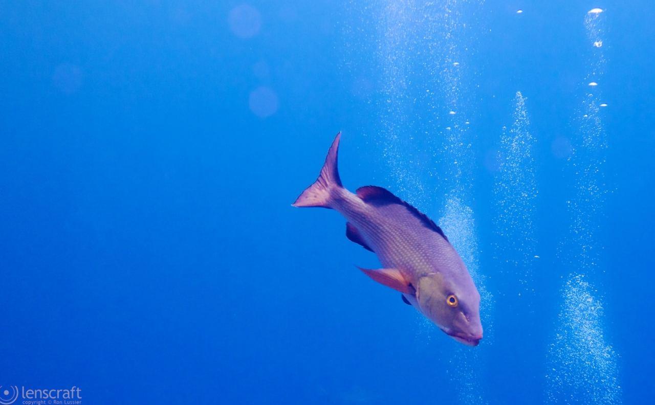 conservative fish / yap, micronesia