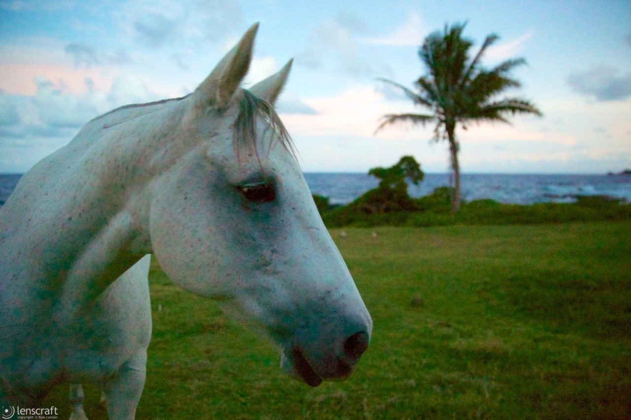 the old gray mare / hana, hawaii
