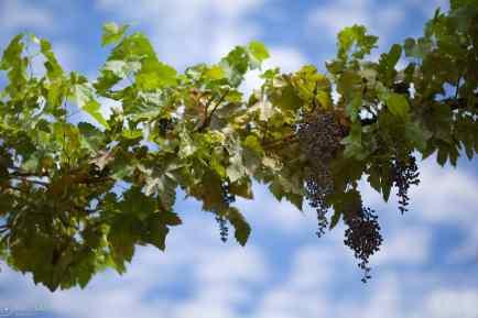 raisins / sonoma, california
