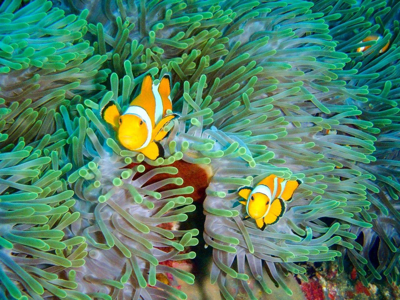 clownfish / andaman sea, thailand